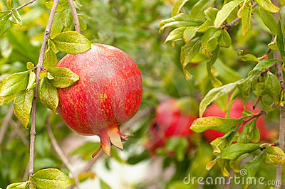 Mouthwatering Pomegranate Ripe on Tree