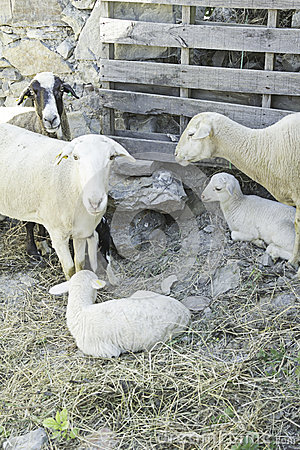 Moutons avec l agneau