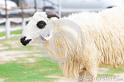 Moutons dans le pré vert