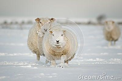 Moutons de l hiver dans la neige