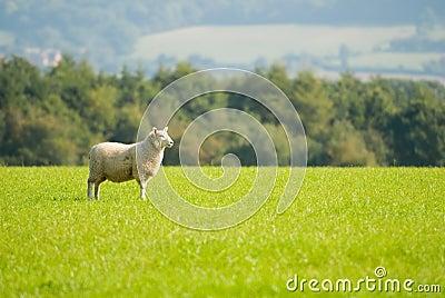 Moutons de regarder