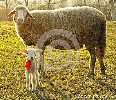 Moutons et agneau