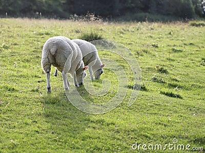 Moutons frôlant dans un domaine