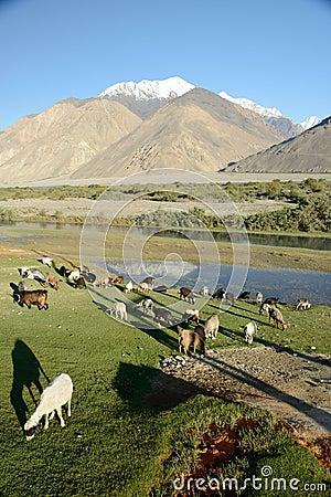 Moutons frôlant sur une colline