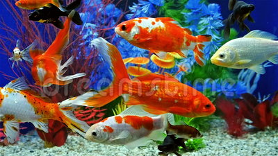 mouvement lent de la natation de poissons dans l 39 aquarium d 39 eau douce clips vid os vid o du. Black Bedroom Furniture Sets. Home Design Ideas