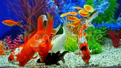 Mouvement lent du poisson rouge mangeant de la nourriture for Nourriture aquarium