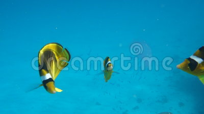 Movie clip of Butterflyfish (Chaetodon fasciatus). Floats over a coral reef - eat jellyfish stock footage