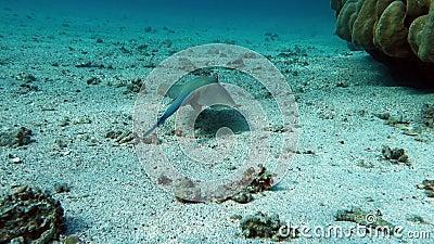Movie clip of sea fish - Bluespotted stingray - Taeniura lymma. Red sea Egypt stock video footage