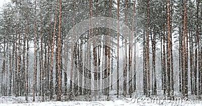 Movimento Caminhante No Parque Da Floresta De Neve No Inverno Durante A nevada Blizzard Panorama da Floresta Conífera de Neve vídeos de arquivo