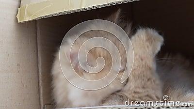 Movimento di un gatto persiano che pulisce la faccia all'interno della scatola archivi video