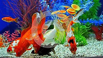 Movimento lento del pesce rosso che mangia mangime per for Pesci da laghetto mangia zanzare