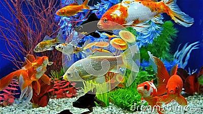 Movimento lento di nuoto del pesce in acquario d 39 acqua for Aquarium poisson rouge villaverde