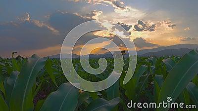 Movimiento de cámara en campo de maíz verde joven en jardín agrícola almacen de metraje de vídeo