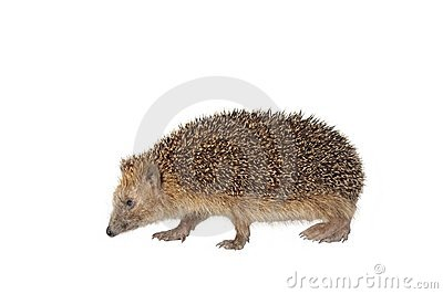 Moving hedgehog