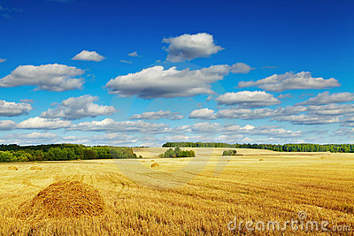 Mowed cornfield