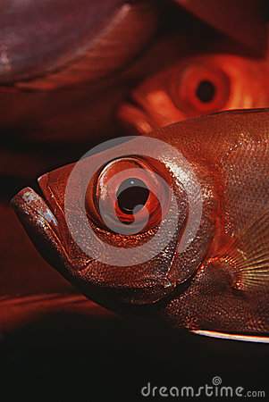 Mozambique Indian Ocean crescent-tail bigeyes (Priacanthus hamrur) close-up