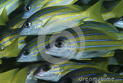 Mozambique Indian Ocean school of bluestripe snappers (Lutjanus kasmira) close-up