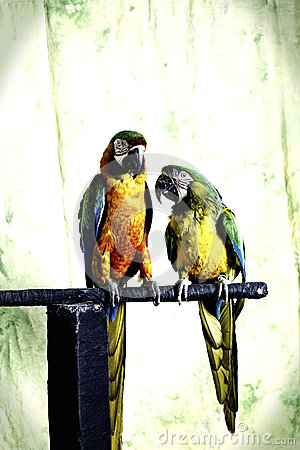 Free Mr And Mrs Macaw Royalty Free Stock Photo - 27715685