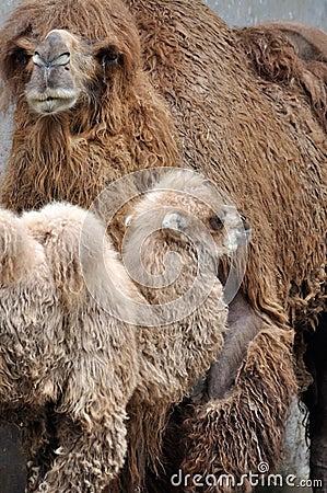 Mère et gosse de chameau