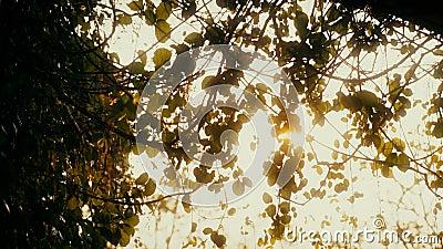 MS da zorra: Sun que brilha através das árvores video estoque