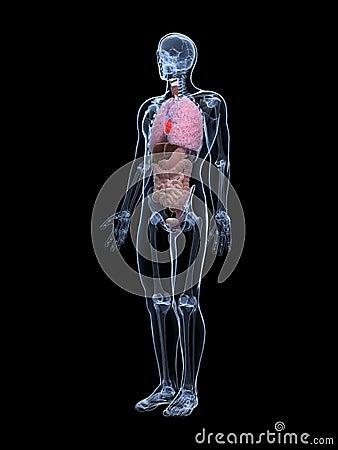 Męska anatomia