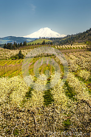 Mt Adams, apple orchards, Oregon
