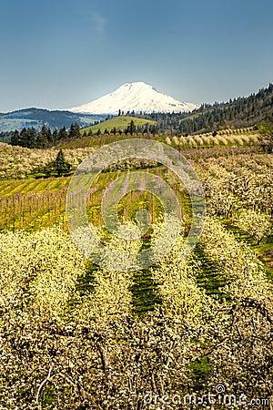 Mt Adams, apple orchards, Oregon