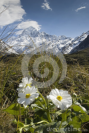 Free Mt Cook With Lily Or Buttercups, National Park, New Zealand Royalty Free Stock Image - 31861966