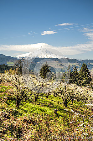 Mt Hood, apple orchards, Oregon