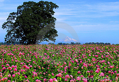 Mt. Hood with clover field