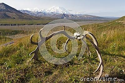 Mt mckinley antler