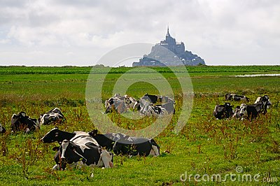 Mt. Saint Michel with cows