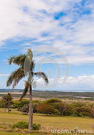 Mtunzini Palm
