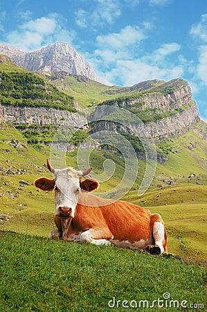 Mucca in alte montagne