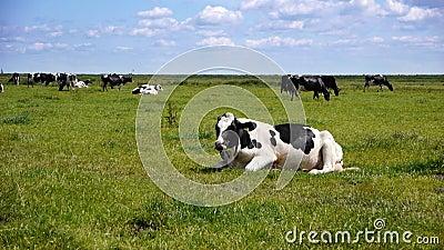 Mucca nel paesaggio olandese stock footage