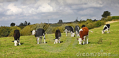 Mucche con quella dispari fuori