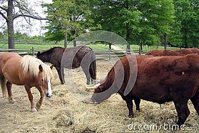 Mucche e cavalli