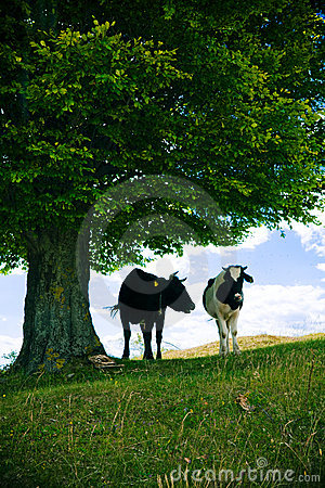 Mucche sotto l albero