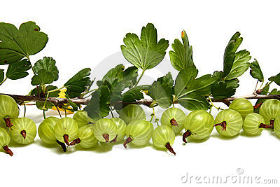 Much gooseberry on a brunch with leaves