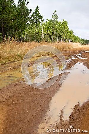 Muddy dirt road next to pine plantation