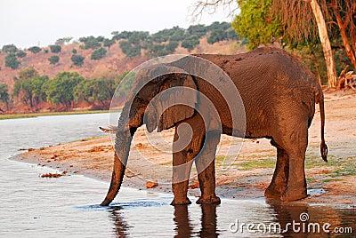 Muddy Elephant profile 2