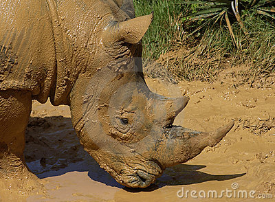 Muddy Rhinoceros