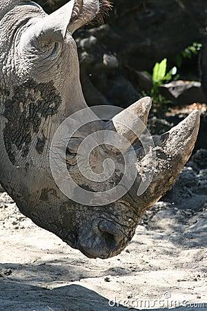 Muddy rhinoceros head