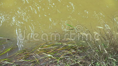 Muddy Water Moving Grass On de Rivierbank stock footage