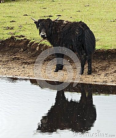 Muddy Yak by Pond