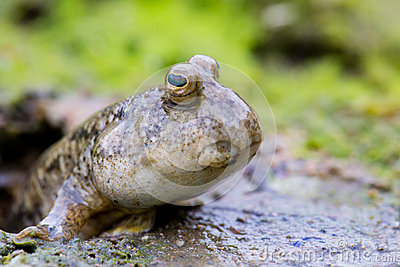 Mudskipper on Mud Flat