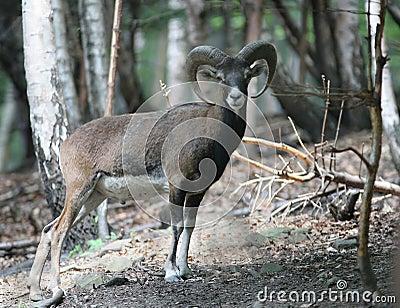 Mufflon in forest
