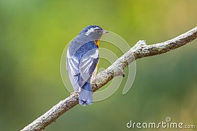 Mugimaki Flycatcher (Ficedula mugimaki), Bird