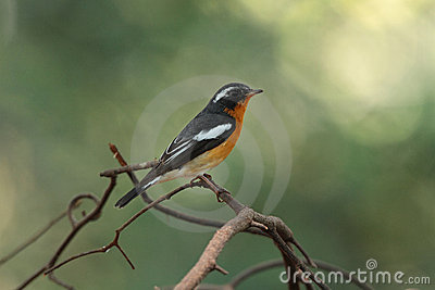 Mukimaki Flycatcher