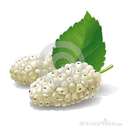 Mulberry illustration